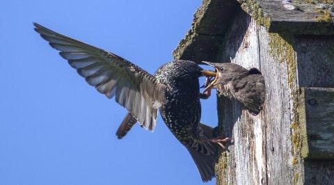Stær:  Også i hagen finnes det flotte fugler, som stær. Men det er viktig å ikke gå for nær reiret. Bildet ble tatt med en av de største teleobjektiver på markedet, 800mm. Alle foto: Eric Fokke