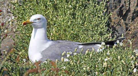 MÅKE PÅ REIR: Er det gråmåke (bildet) som hekker ved Sagstusjøen eller er det fiskemåke? Uansett er eggpunktering ulovlig uten tillatelse. Foto: Hallgeir B. Skjelstad