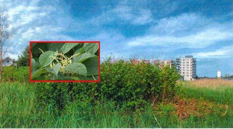 I dette området vokser den uønskede arten. Fylkesmannen i Vestfold har tatt oversiktsbildet på Ørsnes og sendt det til naboer i området.