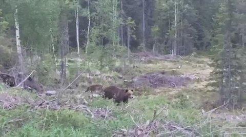 NÆRT HOLD: Bjørnen kikket opp på Jan Erik og noen andre personer, før den gikk videre nedover.