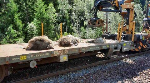 IHJELKJØRT: Flere sauer ble tirsdag påkjørt og drept av toget på Sira.