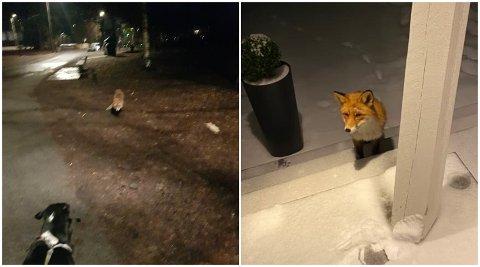 REVEANGREP: Turgåer Håkon Dæhli har tatt bilde av møtet mellom hunden sin og reven på Huk. På bildet til høyre har reven besøkt en annen AO-tipser.