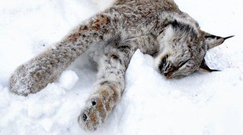 KVOTA FYLT: Vinterens jakt på gaupe i Oppland ble stoppet etter at en ung hanngaupe ble påkjørt i Lom. Foto: Vidar Heitkøtter