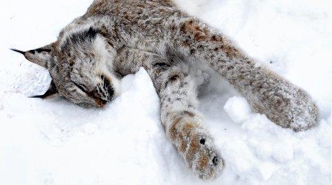 HANNGAUPE: Fem hanngauper ble felt i Oppland i vinter.