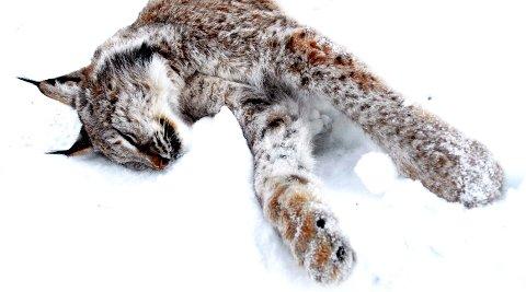 KVOTEJAKTA ER OVER: Seks gauper ble felt i Oppland i vinter.