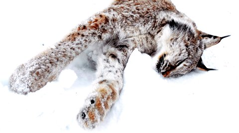 KVOTEJAKT PÅ GAUPE: Sju dyr var felt da ei tilleggskvote ble tildelt jaktområdet i Gudbrandsdalen.