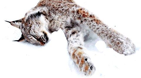 KVOTEJAKTA ER SLUTT: Åtte gauper ble felt i vinter. Årets kvotejakt er slutt.