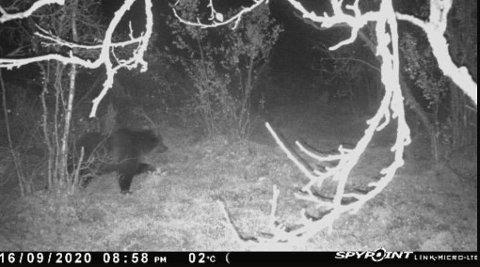 Viltkamera avslørte en bjørn på slakteavfallet 16. september 19.58.