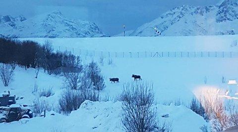 FLYPLASS: Her er de to elgene på tur mot flyplassen