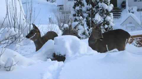 SNØRIK VINTER: Trøgstad kommune har fått tillatelse til 50 fõringsplasser for rådyr, fordi dyrene sliter med å finne mat i den høye snøen. Men Mattilsynet kan ikke gi tillatelse til fôring slik at plommetrærne på Sjødalstrand ikke  beites ned. Det synes viltforvalter Vidar Holthe er en urimelig forskjell.