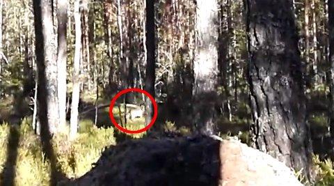 NÆRT: Så nære passerte ulven. Bildet er hentet fra videoen som du kan se lenger ned i saken.