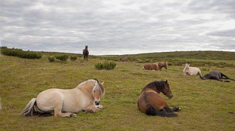 Stølsvidda: Hestar på naturbeitemark på Stølsvidda.