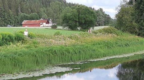 HARSPREDDSEG:Knut Holager og Knut Olufsen inspiserer bestanden av kjempespringfrø langs elva rett sør for Gaustadmåsan, med Grønlund gård i bakgrunnen.