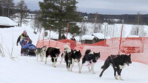 ENDELIG I MÅL: Etter nesten 35 timer effektiv kjøring er Marit Ånes på vei inn mot mål med sju hunder i fin form. Det ble sølvmedalje i første VM. FOTO: KATINKA MOSSIN