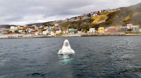 SPREK: Hvaldimir har forført Hammerfest.