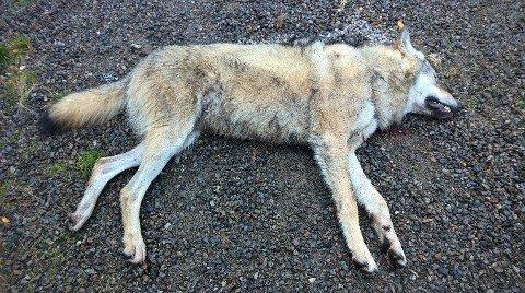 HANNULV: En 51 kg tung hannulv ble tatt ut i Stange onsdag. Ulven er mellom 1,5 og 2,5 år gammel.