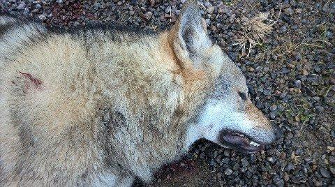 TATT UT: Denne ulven ble skutt i Stange onsdag ettermiddag.