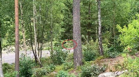 ULV: Det som skal være en ulv ble fanget på film av Niels Ryholt i Eidsfoss i forrige uke. Torsdag morgen ble den fotografert gatelangs i nærområdet igjen.