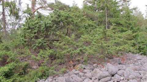 Hvem skulle tro at dette er toppen av Langrøssset, bronsealderrøysa som kunne vært en attraksjon på øya.