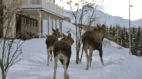 PÅ LUFTETUR: Denne elgfamilien var fredag ute på en ferd i Skistua. Foto: Fritz Hansen.