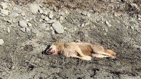 Dette er ulven som ble skutt i Veikledalen ved Kvam lørdag ettermiddag.
