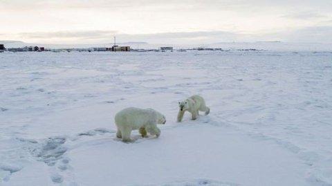 SKREMMENDE: Isbjørner i nærheten av den russiske landsbyen Ryrkaypiy har den siste tiden skremt befolkningen i landsbyen.