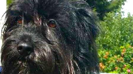 Martin er ein liten, sort blandingshund. Den har vore på rømmen i snart ein månad, og er sist observert ved Eikelandsmyra.