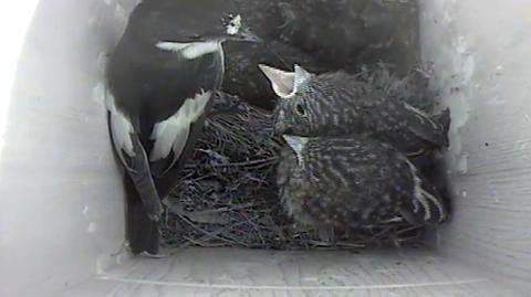 HÅRDA BUD: Fugleungene kjemper om maten fuglefar kommer med. Beboerne i kassa er sterkt desimert etter tragedien som inntraff torsdag.