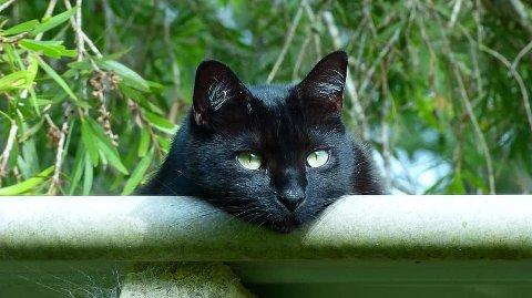 ILLUSTRASJON: Katten på bildet er ikke katten i Wergelands vei, men ligner.