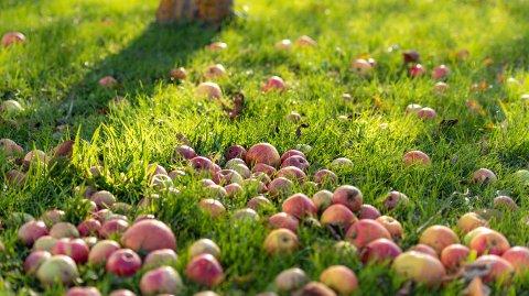 FRUKTIG: Det er mye nedfallsfrukt i hagene i Nordre Follo for tiden.