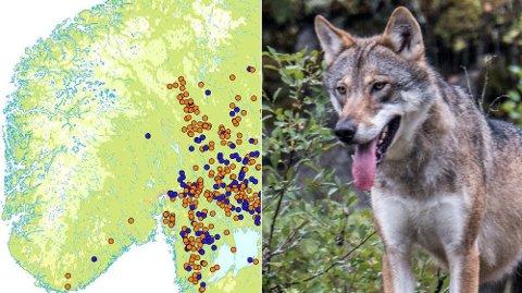 I tidsperioden 1995 til mai måned i 2018 var det registret 143 ulveangrep på hund i Norge. 113 av hundene ble drept. Kart: Norsk institutt for naturforskning, foto: Paul Kleiven / NTB scanpix