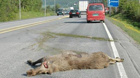 VILTPÅKJØRSLER: I løpet av jaktsesongen 2018-19, ble 7900 hjortevilt drept i trafikken.