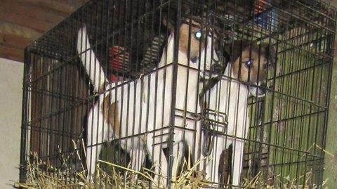 Små bur: Mattilsynet mener det ikke er forsvarlig å ha hunder i så små bur stablet på denne måten. Bildet er fra oktober 2015.
