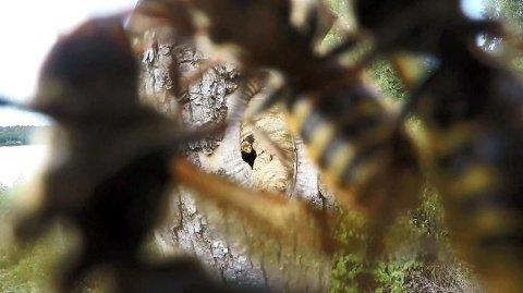 SVERM: En diger sverm geithams – også kalt «monsterveps» - tok kameraet utenfor bolet for å være en fiende. Foto: Bjørnar Olsen