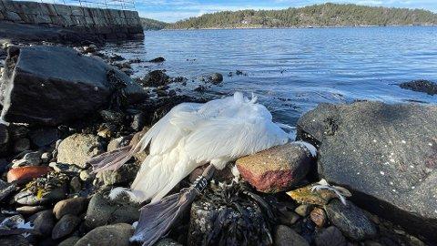 Den døde knoppsvanen ble funnet på Steinstranda på Digerud i Nordre Frogn forrige uke.