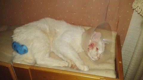 Lucky Strike er en av de heldige kattene, der han ligger forslått og med amputert hale. Han ble tatt inn i varmen.