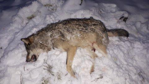 SKUTT: Det var denne hannulven som ble skutt lørdag.