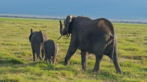 ELEFANTER: Pengene fra Rosamaria Paasche er ment å skulle bidra til å beskytte nasjonalparkene som Kenyas ville dyr lever i. Dette bildet ble tatt under advokat Arne Os' besøk i landet, i forbindelse med at testamentgaven ble overrakt.