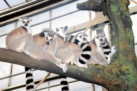 En lokfører mener å ha sett den siste lemuren langs toglinja i Gjerstad.