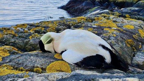 FUGLEDØD: I mars ble det observert et stort antall døde ærfugl langs kysten, blant annet i Risør. Her er en død hann.