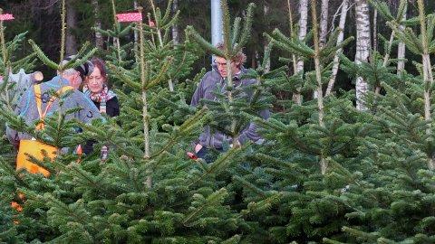 Et nærings- og eksportpotensial i norske juletrær.