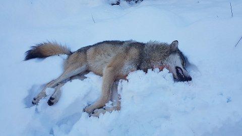 SKUTT: Denne hannulven på drøyt 43 kilo ble skutt i Kvinesdal onsdag formiddag. Foto: Statens Naturoppsyn