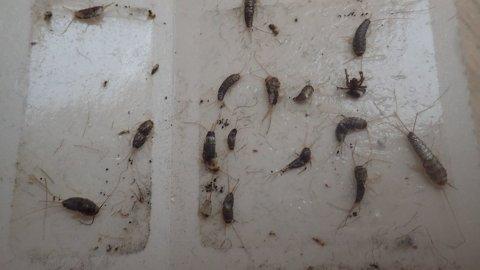 LIMFELLER: Ved å bruke limfeller kan man fange flere skjeggkre, men det kan være vanskelig å bli kvitt alle. Mycoteam