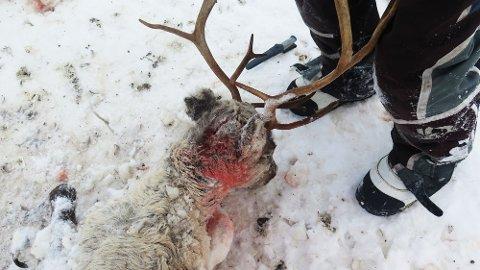Skadene på reinen viser det var jerven som var til angrep. Til sammen fant Statens naturoppsyn 15 drepte rein i Saltfjellområdet i helgen.