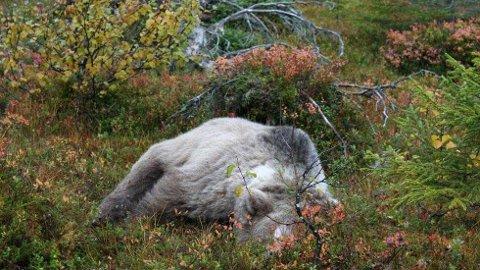 Bjørnen som ble skutt i Arjeplog.