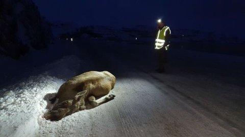 PÅKJØRT: En elg ble påkjørt i morgentimene lørdag i Nesseby. Flere har reagert på måten elgen ble fraktet vekk på.