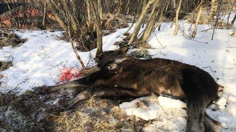 En mann er dømt til betinget fengsel i 30 dager og til å betale en bot på 40 000 kroner etter å ha skutt en elg i et boligområde på Grønnåsen i Bodø.