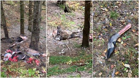 Elgskinn, innvoller og beinrester pleier å bli liggende igjen i skogen etter slakting.