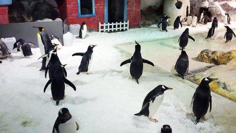 Her er Akvariet-pingvinene i sitt nye hjem i Kina.