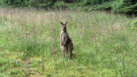 SPISTE LUNSJ: Da Haugesunds Avis var innom Storesund barnehage søndag, sto kenguruen stille i gresset utenfor barnehageområdet og spiste lunsj.
